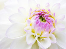 Dahlia close-up background Stock Photos
