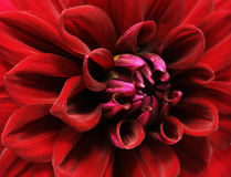 Dahlia Royalty Free Stock Images