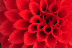 Dahlia, close up Royalty Free Stock Image