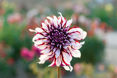 Dahlia close-up outdoors Stock Images