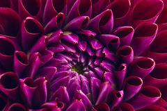 Dahlia close up Royalty Free Stock Images