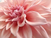 Dahlia. Close up shot of pink dahlia flower Royalty Free Stock Photos