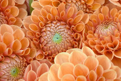 Dahlia closeup Stock Images
