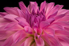 Dahlia Closeup Photographie stock