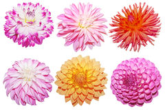 Dahlia Collection Royalty Free Stock Photography