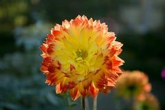 Dahlia coloré de fleur Image stock