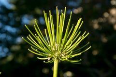 Dahlia coloré de fleur Images stock