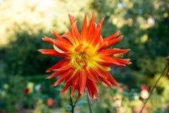 Dahlia coloré de fleur Images libres de droits