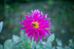 Dahlia coloré de fleur Image libre de droits