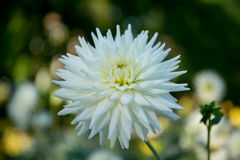Dahlia coloré de fleur Photos stock