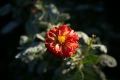 Dahlia coloré de fleur Photos libres de droits