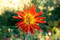 Dahlia coloré de fleur Photographie stock