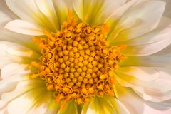 Dahlia coloré macro par blanc Photo stock