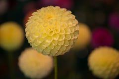 Dahlia coloré par jaune rond vibrant photos stock