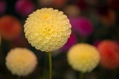 Dahlia coloré par jaune rond vibrant images libres de droits