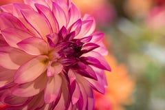 Dahlia coloré par rose vibrant Image libre de droits