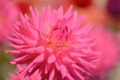 Dahlia coloré par rose vibrant Photographie stock