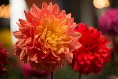 Dahlia coloré par rouge vibrant photos stock