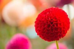 Dahlia coloré par rouge vibrant photographie stock