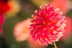 Dahlia coloré par rouge vibrant Photo stock