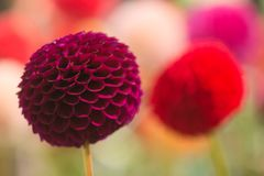Dahlia coloré par rouge vibrant Image libre de droits
