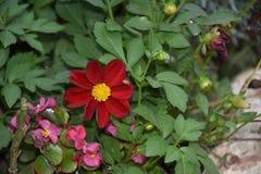 Dahlia coloré très gentil dans mon jardin image libre de droits