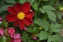 Dahlia coloré très gentil dans mon jardin photos stock