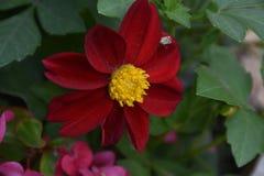 Dahlia coloré très gentil dans mon jardin photographie stock