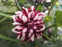 Dahlia `Contraste` garnet and white decorative with giant flowers