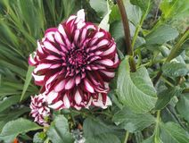Dahlia `Contraste` garnet and white decorative with giant flowers in summer