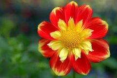 Dahlia corolla named Pooh Collarette variety Close-up Royalty Free Stock Photo