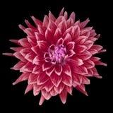 Dahlia couleur cerise de Bourgogne de rose de fleur d'isolement sur le fond noir Plan rapproché photos libres de droits