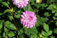 Dahlia - couleurs très belles d'un automne Image libre de droits