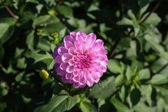 Dahlia - couleurs très belles d'un automne Image stock
