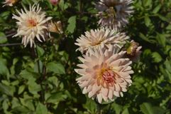 Dahlia. Beautiful ornamental plant with large creamy lowers Stock Images