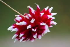 Dahlia Dahlia, est un genre des usines fleurissantes dans le sunfl Photo libre de droits