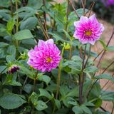 Dahlia. Is a genus of bushy, tube rous, herbaceous perennial plants Royalty Free Stock Photos