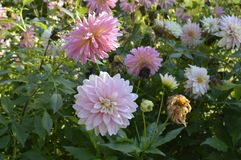 Dahlia. Hybrida - beautiful ornamental plant with large creamy lowers Stock Photo