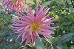 Dahlia. Hybrida Nubia - beautiful ornamental plant with large creamy lowers Stock Photography