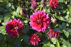 Dahlia. Purple flame - beautiful ornamental plant with large red flowers Royalty Free Stock Photography