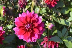 Dahlia. Purple flame - beautiful ornamental plant with large red flowers Stock Photos