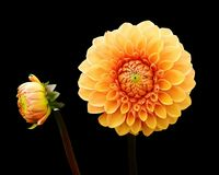 Dahlia, Dahlias, Autumn, Asteraceae Royalty Free Stock Photo