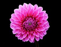Dahlia, Dahlias, Autumn, Asteraceae Stock Image
