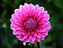 Dahlia, Dahlias, Autumn, Asteraceae Stock Photography