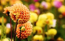 Dahlia, Dahlias, Autumn, Asteraceae Stock Photos