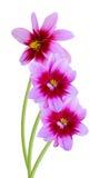 Dahlia daisy Royalty Free Stock Image