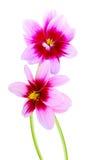 Dahlia daisy bunch Stock Image