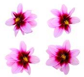 Dahlia daisy Stock Images