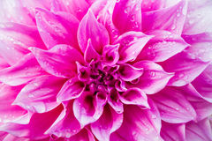 Dahlia or Dalia Flower at The Royal Agricultural Station Inthano Stock Image