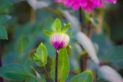 Dahlia dans le jardin Photos libres de droits